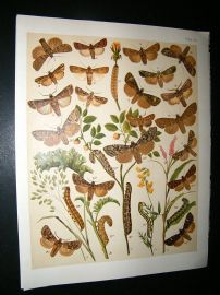 Kirby 1907 Agrotidae, Dart Moths etc 35. Antique Print